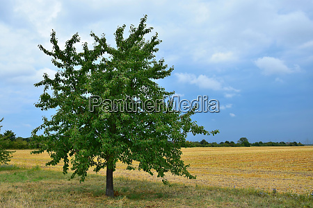 ein kirschbaum