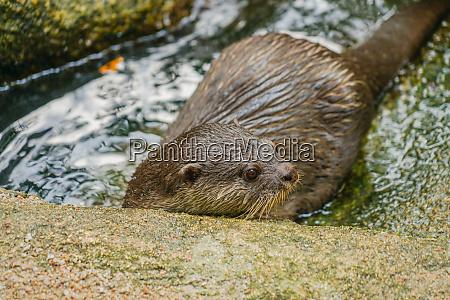 suesse orientalische kleinkralle otter bild von