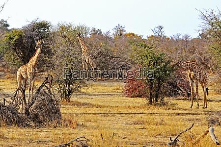 giraffen die lebensmittel im mahango park