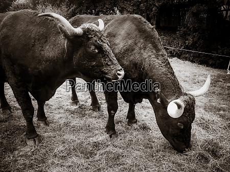 weideverkaufer rindfleisch in cantal bergfeldern schwarz