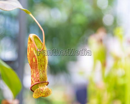 nepenthes ampullaria eine fleischfressende pflanze in