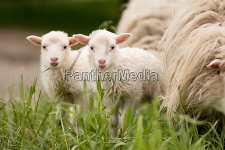 sheep, twins, mammal, animal, young, farm - 28686797