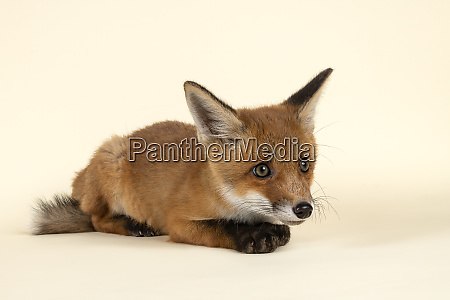 saeugetiere fuchs 2020 32712