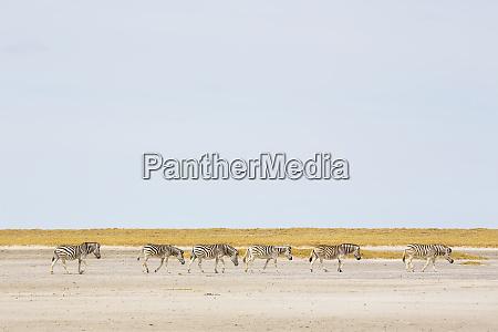 burchells, zebra, eine, kleine, gruppe, von, tieren - 28726748