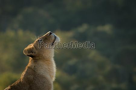 seitenansicht des loewenjunges panthera leo kopf