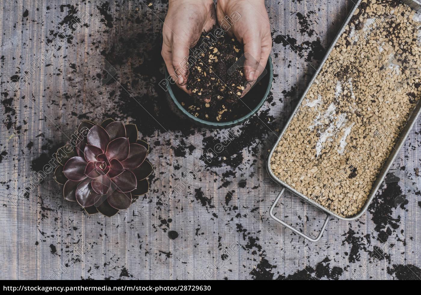 person, die, kleine, saftige, pflanzen, auftopfen. - 28729630
