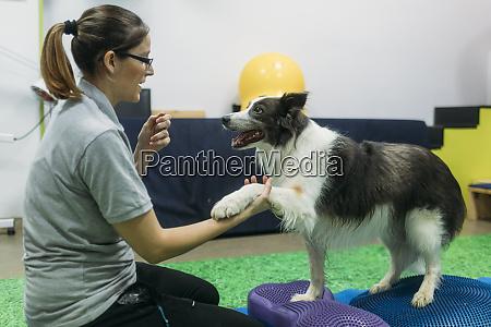 physiotherapeutinnen trainieren border collie auf bosu