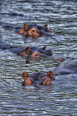 demokratische republik kongo hippopotamus hippopotamus amphibius