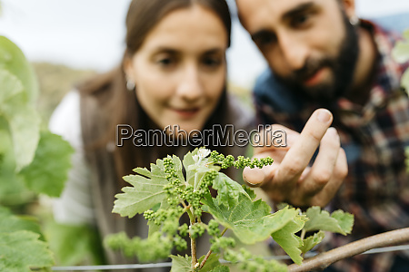 paar untersucht traubenpflanzen im weinberg