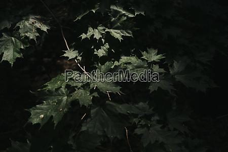 nahaufnahme des sonnenlichts auf gruenen ahornblaettern