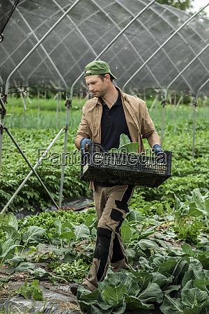 bio landwirt erntet kohlrabi im gewaechshaus