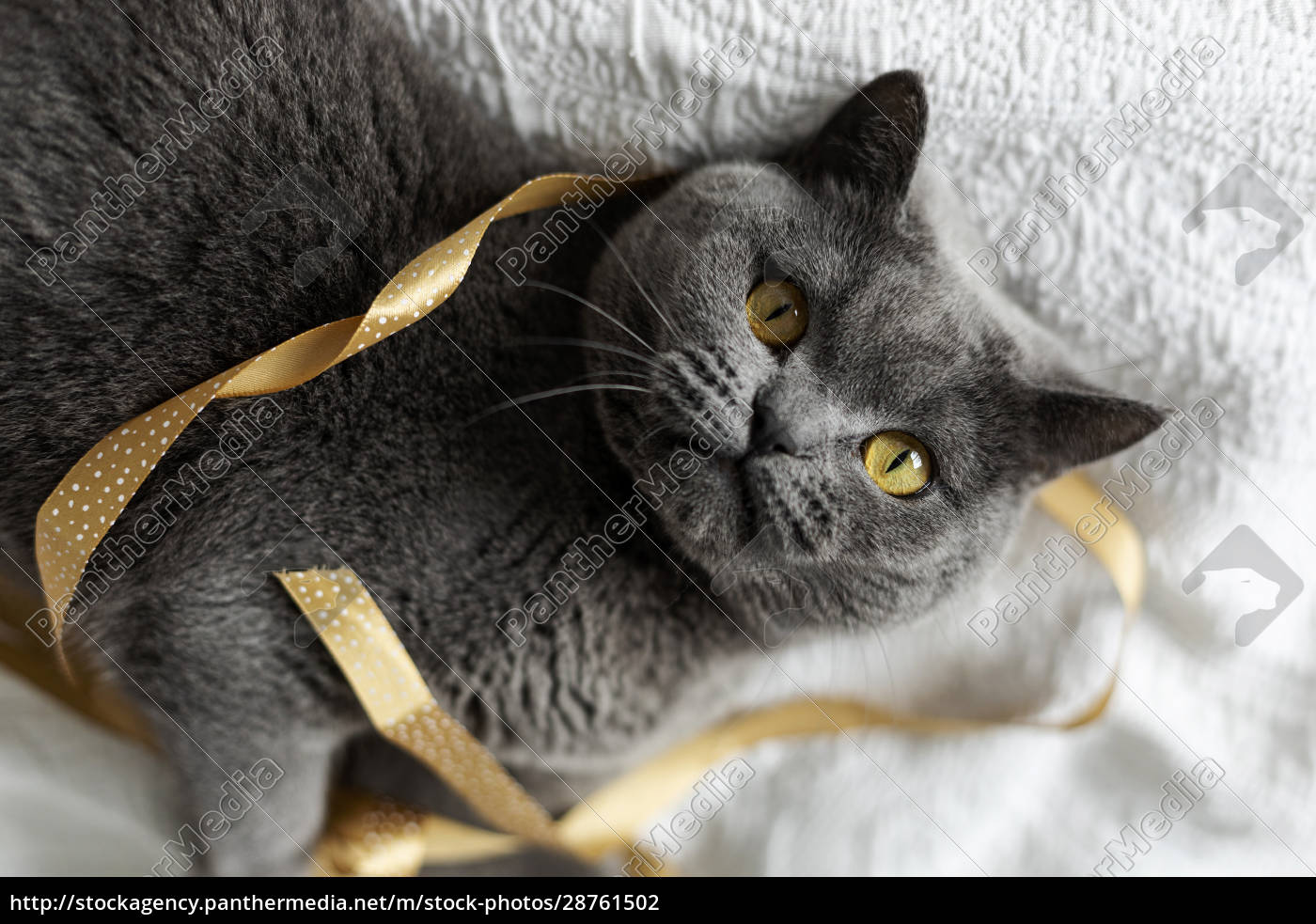 portrait, of, grey, cat, lying, on - 28761502