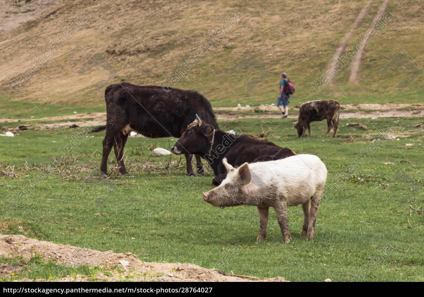 georgia, , svaneti, , ushguli, , livestock, grazing, on - 28764027