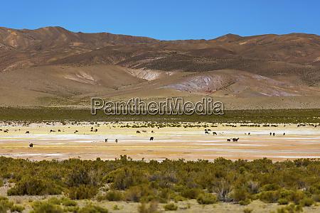 tiere auf der altiplano landschaft potosi