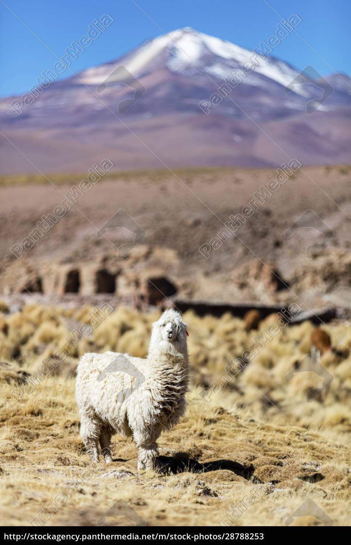 llama, i, (lama, glama), auf, der - 28788253