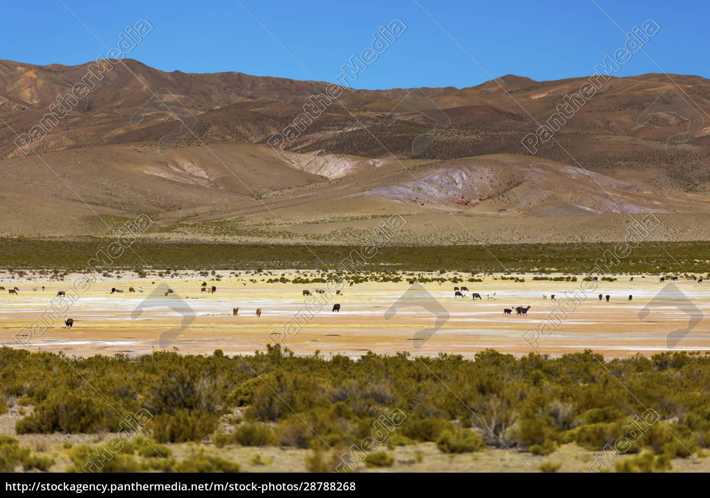 tiere, auf, der, altiplano, landschaft;, potosi, bolivien - 28788268
