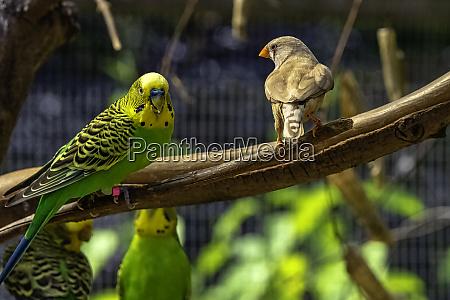 melopsittacus undulatus bekannt als budgerigar und