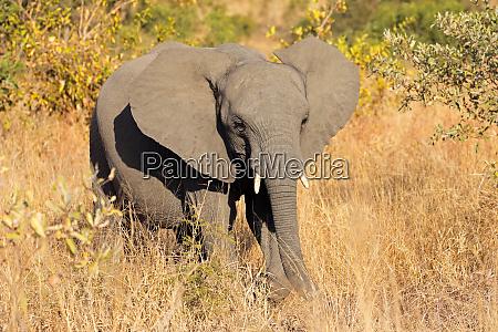 junger afrikanischer elefant in natuerlichem lebensraum