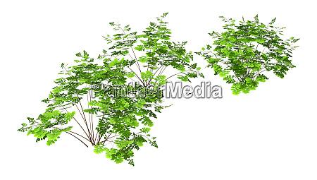 3d rendering maidenhair plants auf weiss