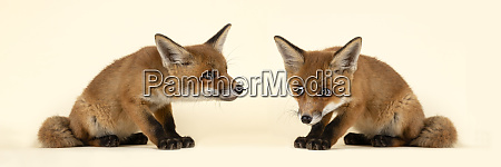 saeugetiere fuchs 2020 32722 32725