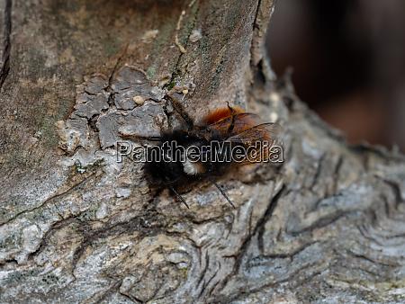 paarungszeit der maurerbiene im fruehjahr