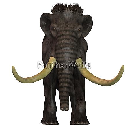 wollige mammutfront