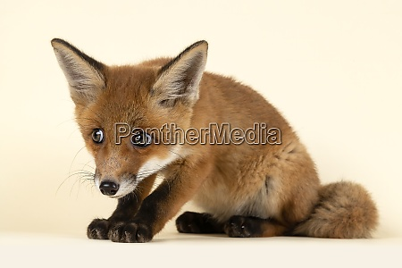 saeugetiere fuchs 2020 32723s