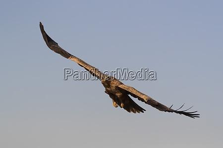 tawny eagle aquila rapax privatwildreservat zimanga