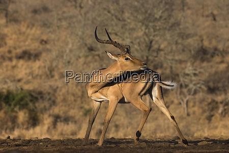 impala aepyceros melampus zimanga wildreservat kwazulu