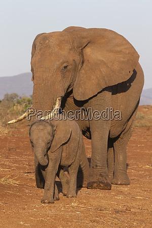 afrikanischer elefant loxodonta africana und kalb