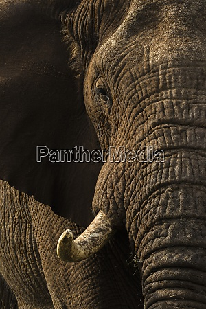 afrikanischer elefantenbulle loxodonta africana privatwildreservat zimanga