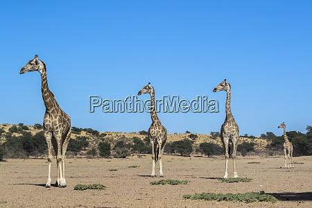 giraffe giraffe camelopardalis kgalagadi transfrontier park