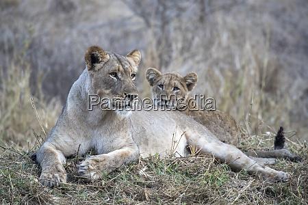 lioness panthera leo mit cub zimanga