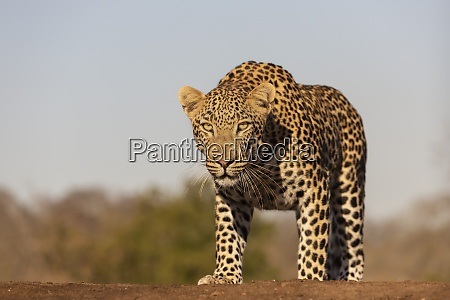 leopard panthera pardus maennlich zimanga privates