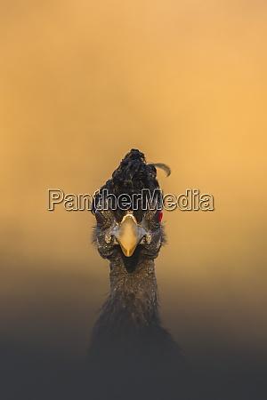crested perperowl guttera pucherani zimanga wildreservat