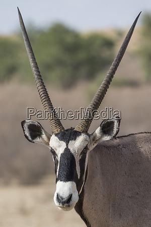 gemsbok oryx gazella kgalagadi transfrontier park