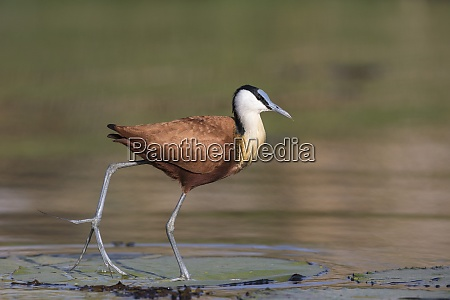 african jacana actophilornis africanus chobe river