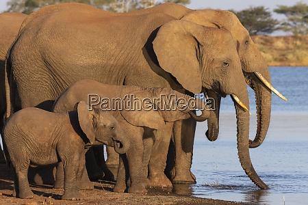 afrikanische elefanten loxodonta africana trinken zimanga