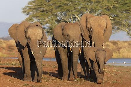 afrikanische elefanten loxodonta africana zimanga wildreservat