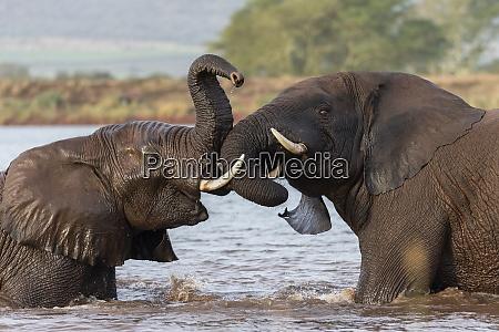 afrikanische elefanten loxodonta africana spielenkampf im