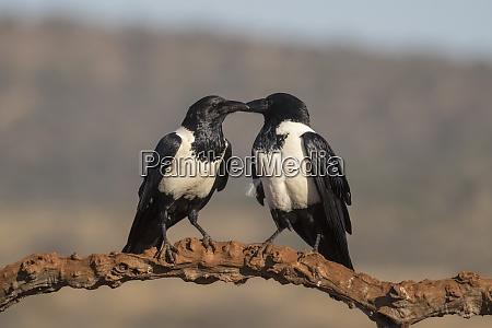 rattenkraehen corvus albus privatwildreservat zimanga kwazulu