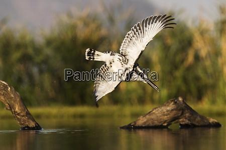 eisvogel ceryle rudis tauchen zimanga privates