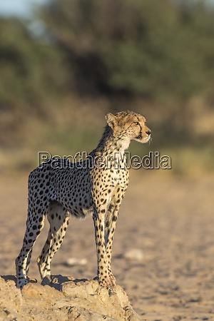 gepard acinonyx jubatus kgalagadi transfrontoer park