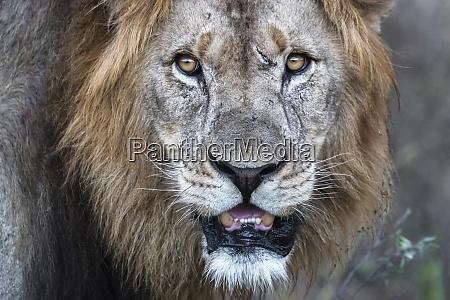 lion panthera leo zimanga privates wildreservat