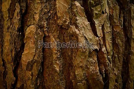 reliefrinde der alten kiefer pinus