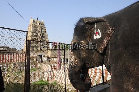 indischer elefant in hampi indien