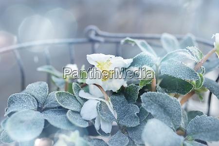 weihnachtsrosen im frostigen winter