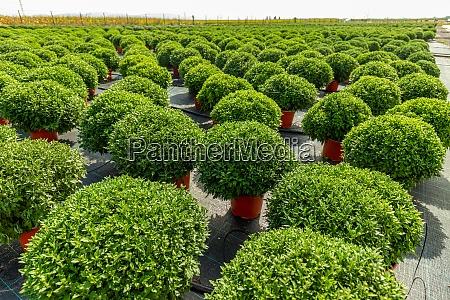 gruene chrysanthemenplantagen