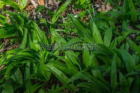 saftiger gruener baerlauch im fruehling