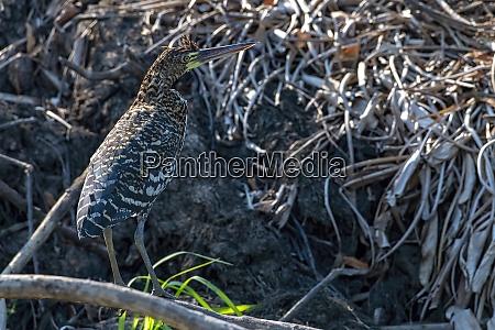 brasilien pantanal 2019 18946